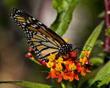 5F1A0359 Monarch.jpg