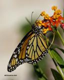 5F1A0474 Monarch.jpg