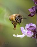 5F1A0871 Honeybee.jpg