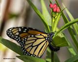 5F1A0901 Monarch.jpg