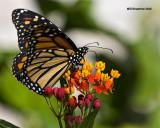 5F1A0904 Monarch.jpg