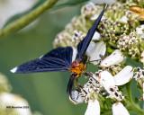 5F1A1036 Whitetipped Black Moth.jpg