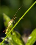 5F1A1103 Tiny leafhopper.jpg