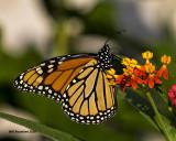 5F1A1161 Monarch.jpg