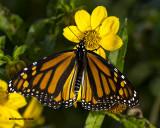 5F1A1226 Monarch.jpg