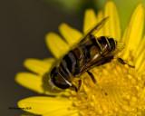 5F1A1494 Bee Fly.jpg