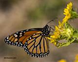 5F1A1590 Monarch.jpg