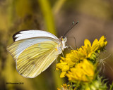 5F1A1597 Great Southern White.jpg
