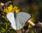 5F1A1612 Great Southern White.jpg