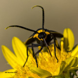 5F1A1660 Yellow-Collared Scape Moth.jpg