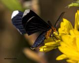 5F1A1676 White-tipped Black Moth.jpg