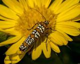 5F1A1708 Ailanthus Webworm Moth Atteva aurea.jpg