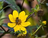 5F1A2753 Swamp Sunflower.jpg