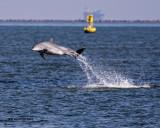 5F1A1833 Dolphin.jpg