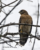 5F1A5390 Red-shouldered Hawk.jpg