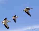 5F1A5602 American White Pelican.jpg