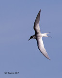 5F1A5664 Forsters Tern.jpg
