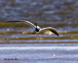 5F1A5665 Forsters Tern.jpg
