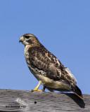 5F1A5763 Red-tailed Hawk.jpg