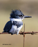 5F1A5865 Belted Kingfisher.jpg
