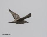 5F1A5991 Herring Gull.jpg