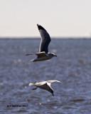 5F1A5635 Ring-billed Gulls.jpg