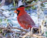 5F1A6208 N Cardinal.jpg