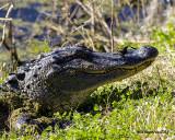 5F1A6418 Ally Gator.jpg