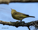5F1A6431 Orange-crowned Warbler.jpg