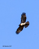 5F1A6455 Red-tailed Hawk.jpg