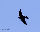 5F1A6481 Tree Swallow.jpg