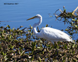 5F1A6386 Great Egret.jpg