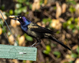 5F1A6580 Great-tailed Grackle.jpg