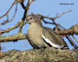 5F1A6587 White-wimged Dove.jpg