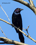 5F1A6602 Great-tailed Grackle.jpg