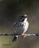5F1A6662 Savannah Sparrow.jpg
