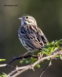 5F1A6664 Savannah Sparrow.jpg