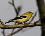 5F1A6889 American Goldfinch.jpg