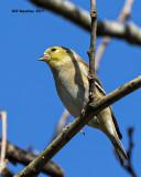 5F1A7103 American Goldfinch.jpg