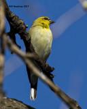 5F1A7131 American Goldfinch.jpg