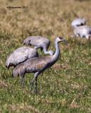 5F1A7325 Sandhill Cranes.jpg