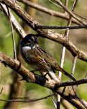5F1A7357 Swamp Sparrow.jpg