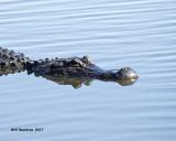 5F1A7378 American Alligator.jpg