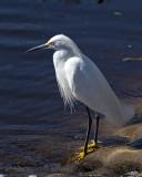 5F1A7414 Snowy Egret.jpg