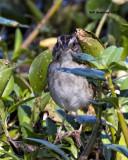 5F1A7429 Swamp Sparrow.jpg
