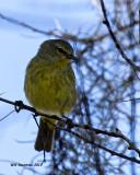 5F1A7432 Orange-crowned Warbler.jpg