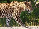 Sri Lanka, Leopards