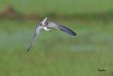 Whiskered Tern (Chlidonias hybridus, migrant, non-breeding plumage)   Habitat - Bays, tidal flats to ricefields.   Shooting info - Candaba wetlands, Pampanga, Philippines, October 13, 2014, Canon EOS 7D Mark II + EF 600 f4 IS II,  f/5.6, ISO 320, 1/2000 sec, manual exposure in available light, 475B/516 support, major crop resized to 1500x1000.