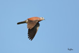 Red Turtle-Dove (Streptopelia tranquebarica, resident)   Habitat - Open country or lawns.   Shooting Info - Bued River, Rosario, La Union, May 13, 2015, 5D MIII + 400 5.6L, 400 mm,  f/5.6, ISO 640, 1/2000 sec, hand held, major crop.