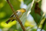 Lowland White-eye (Zosterops meyeni, a near Philippine endemic)   Habitat - Second growth, scrub and gardens.   Shooting info - Bacnotan, La Union, Philippines, June 28, 2015, Canon 5D MIII + 400 2.8 IS + Canon 2x TC II,  800 mm, f/5.6, ISO 640, 1/800 sec, 475B/516 support, manual exposure in available light, near full frame resized to 1500x1000.
